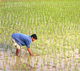 A man working in a rice field in Bangladesh. Image by: SF007
